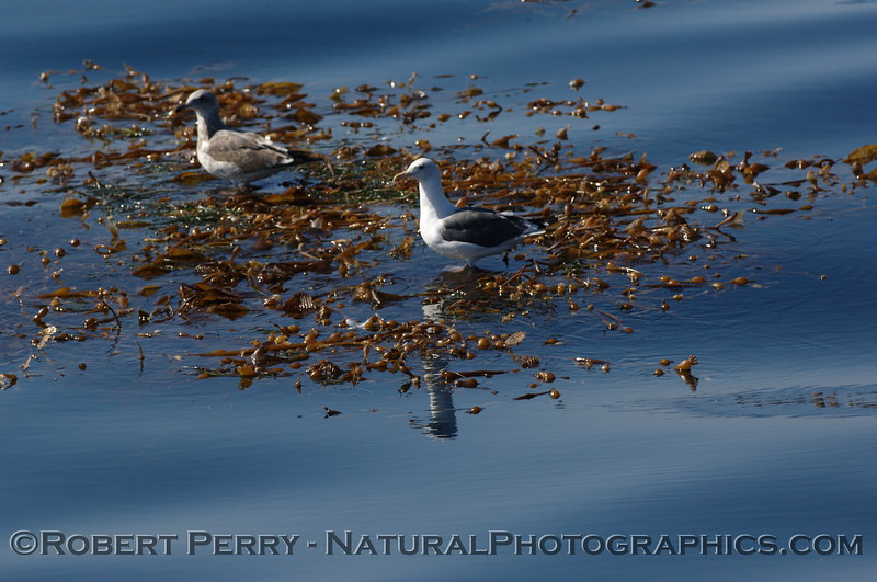Two gulls rest on a drifting kelp paddy (Macrocystis) - Santa Barbara Channel.