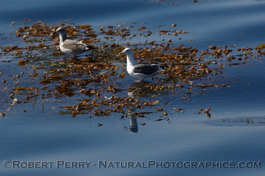 Two gulls rest on a drifting kelp paddy (Macrocystis) - Santa Barbara Channel.