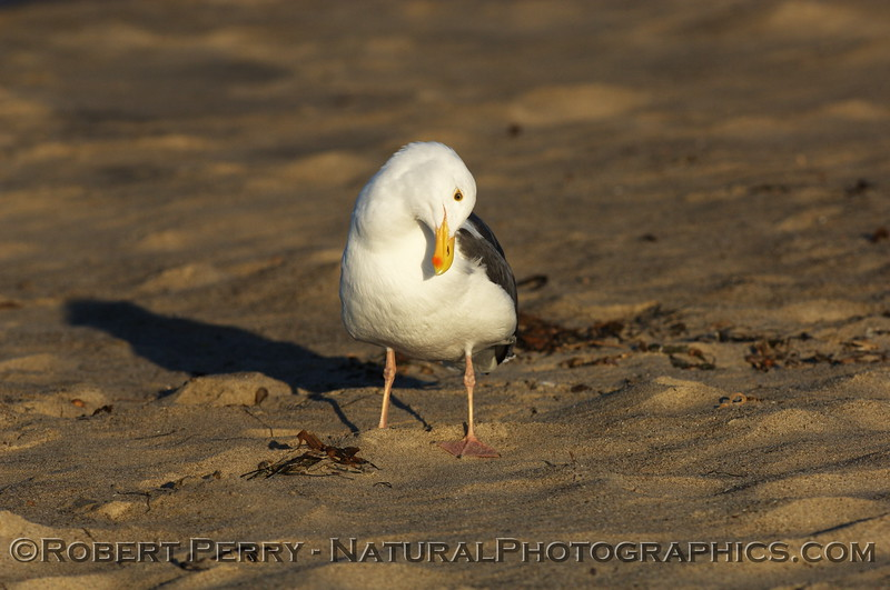 Adult western gull preening - Zuma Beach, California.