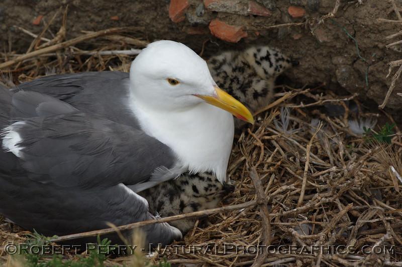 Newborn western gulls with adult on nest site - East Anacapa Island.