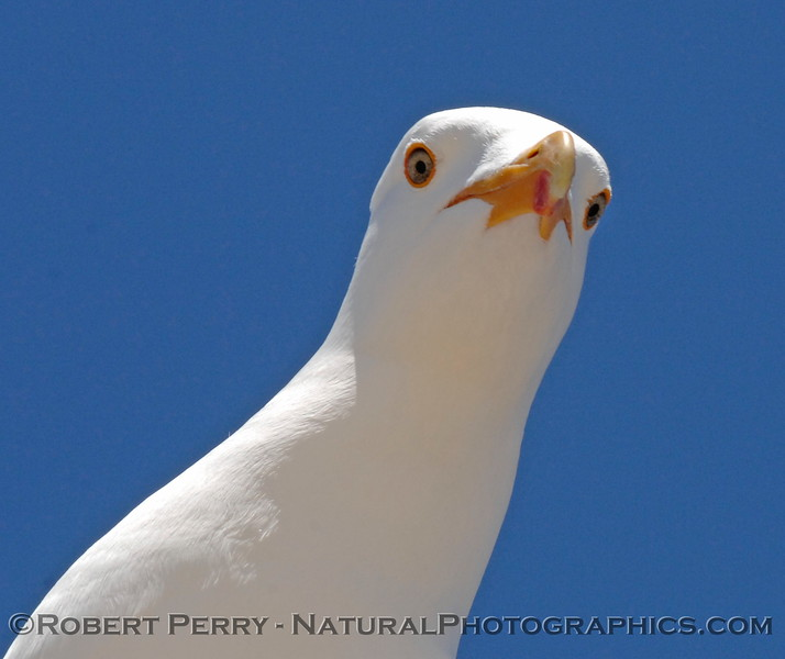 Adult western gull looking down from atop lifeguard station telephone pole - Zuma Beach, California.