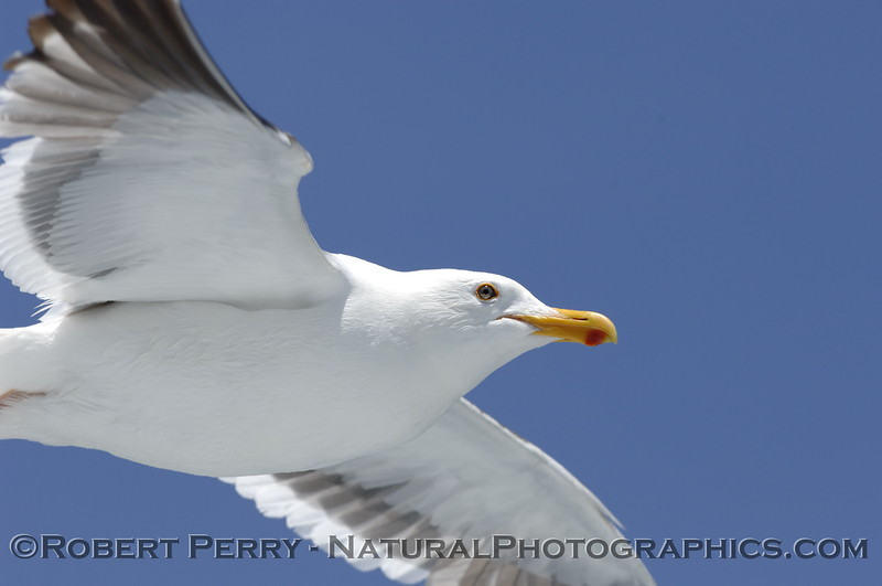 Adult western gull in flight - eye to eye.