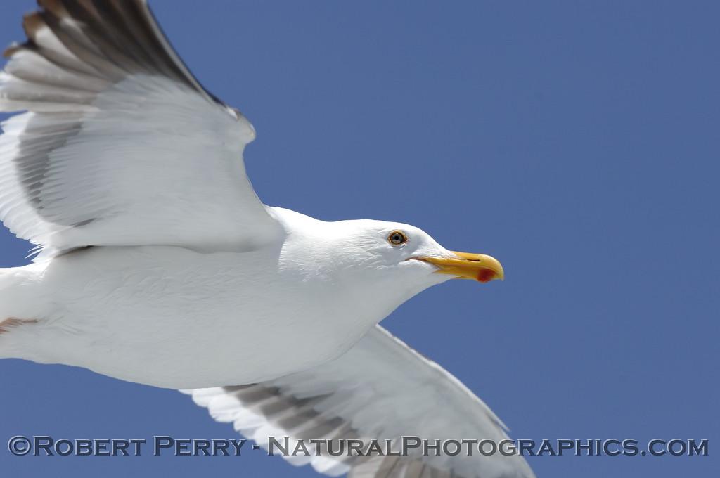 Adult western gull in flight - eye to eye.