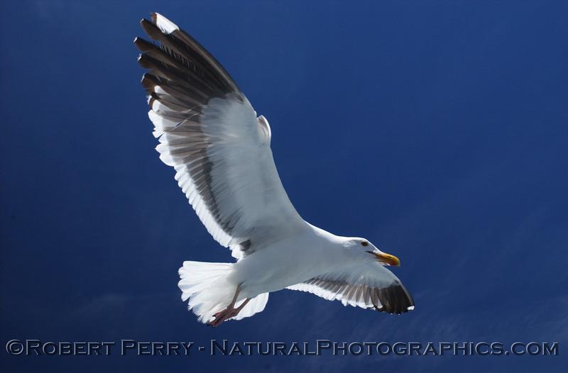 Adult western gull in flight.