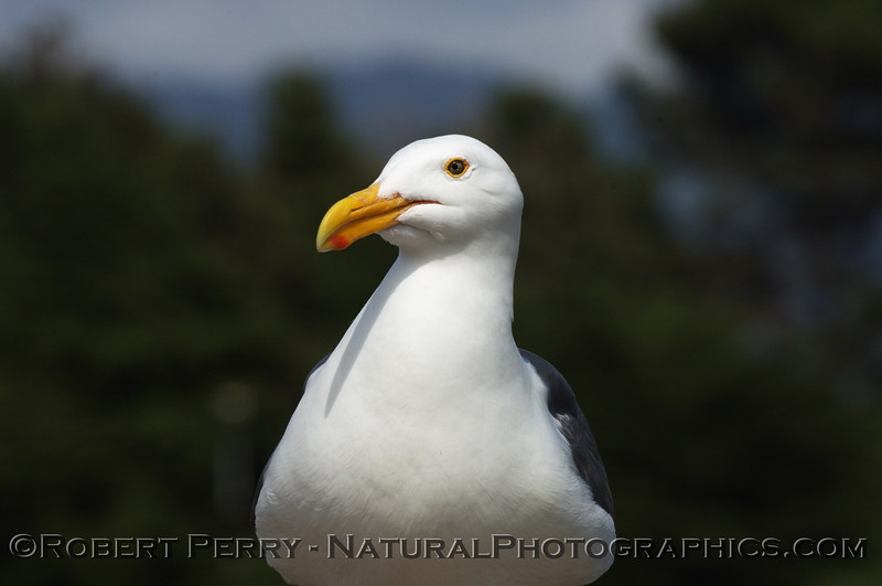 Adult western gull facing camera lens.
