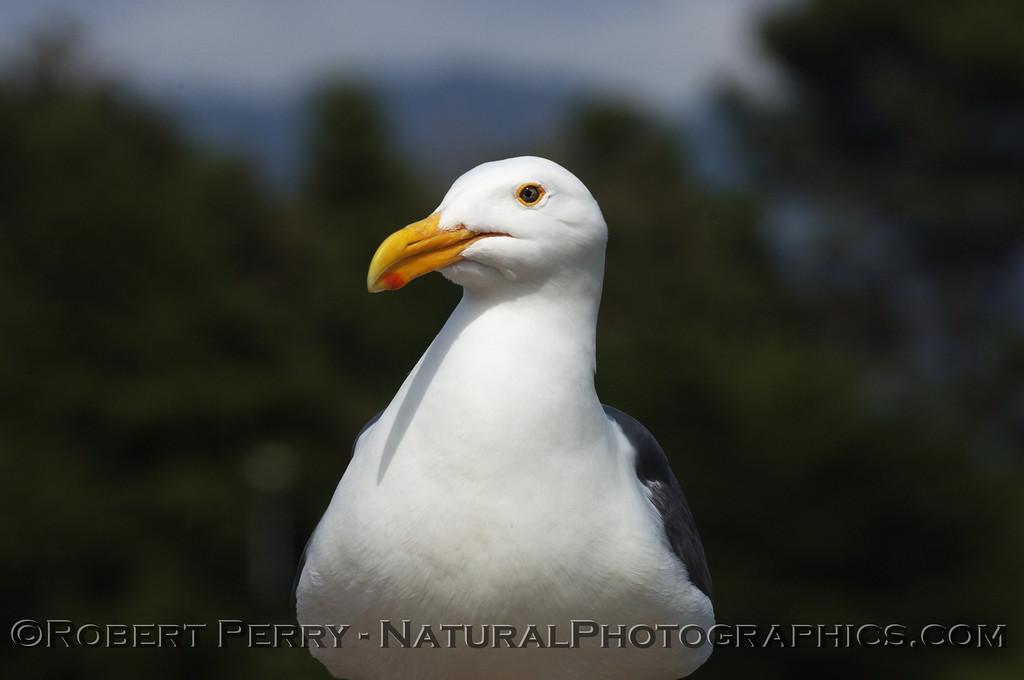 Adult western gull facing camera lens.
