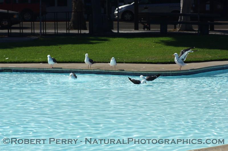 Western gulls enjoy a swim at Los Banos pool, Santa Barbara, California.