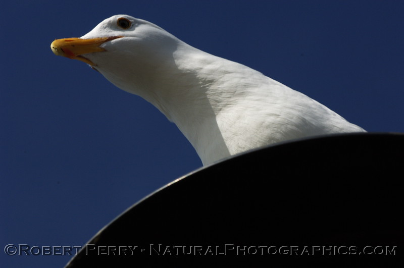 Adult western gull looks down from perch on pier piling - Berkeley California pier.