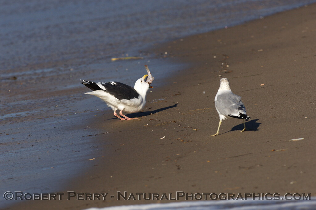 Adult western gull swallowing whole flatfish - Zuma Beach, California.