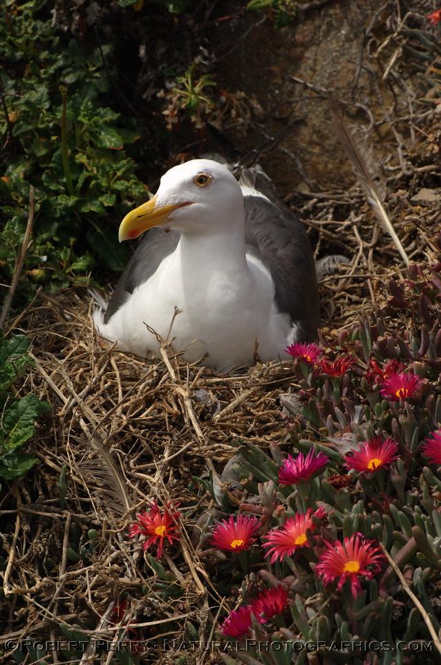 Adult on flowery nest - East Anacapa Island.