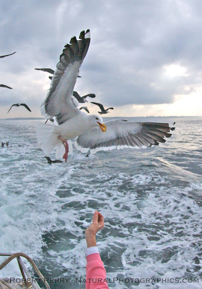 """L.A. Audubon's Millie hand feeds popcorn to adult western gull in her role as official """"chummer"""" for pelagic bird trips."""