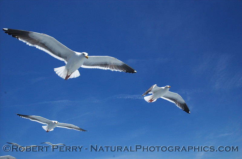 Flock of western gulls follow the popcorn chum line behind the vessel Vanguard during an L.A. Audubon pelagic bird trip.
