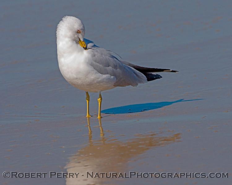 Larus delawarensis on wet mirror sand 2007 02-24 Zuma--004