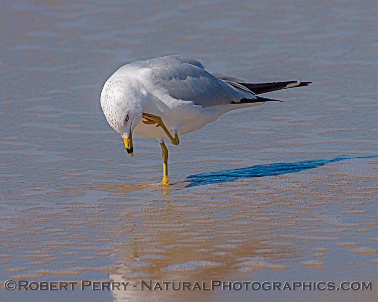 Larus delawarensis on wet mirror sand 2007 02-24 Zuma--001