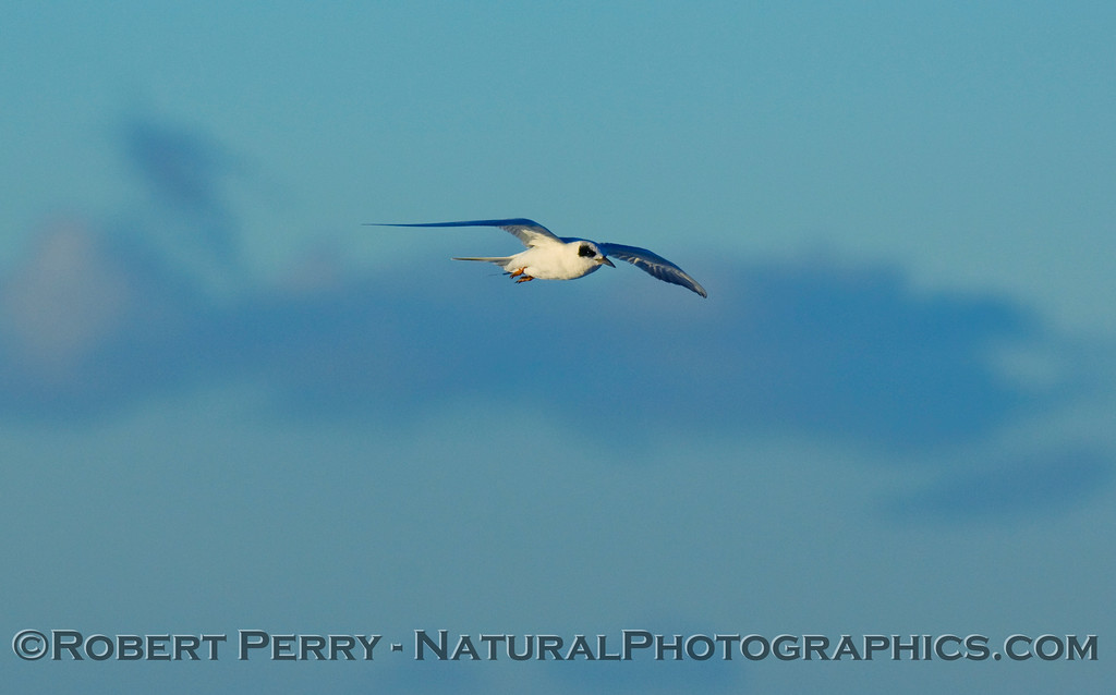 Sterna forsteri, Forster's tern, in flight.