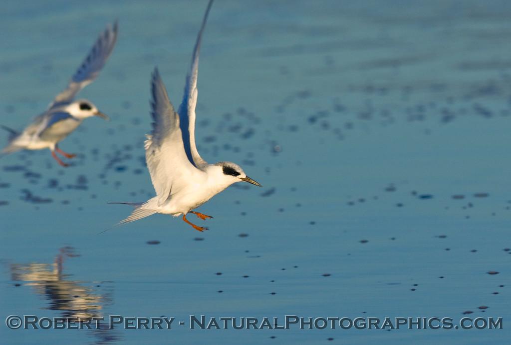 Forster's terns landing on mirror wet sand; Sterna forsteri.