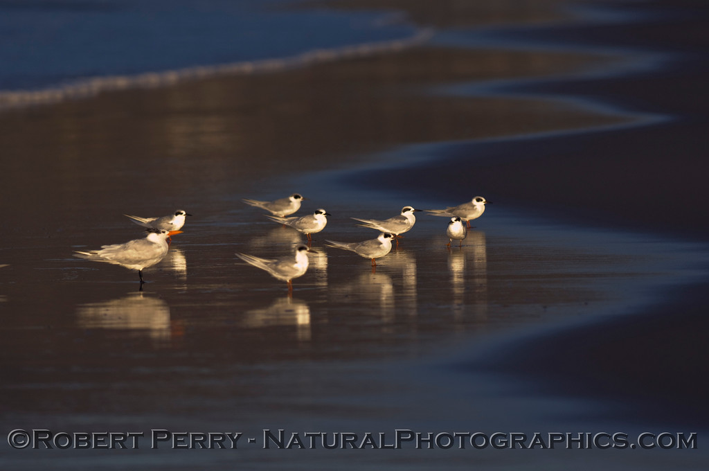 Eight Forster's and one Royal Tern...at dawn.