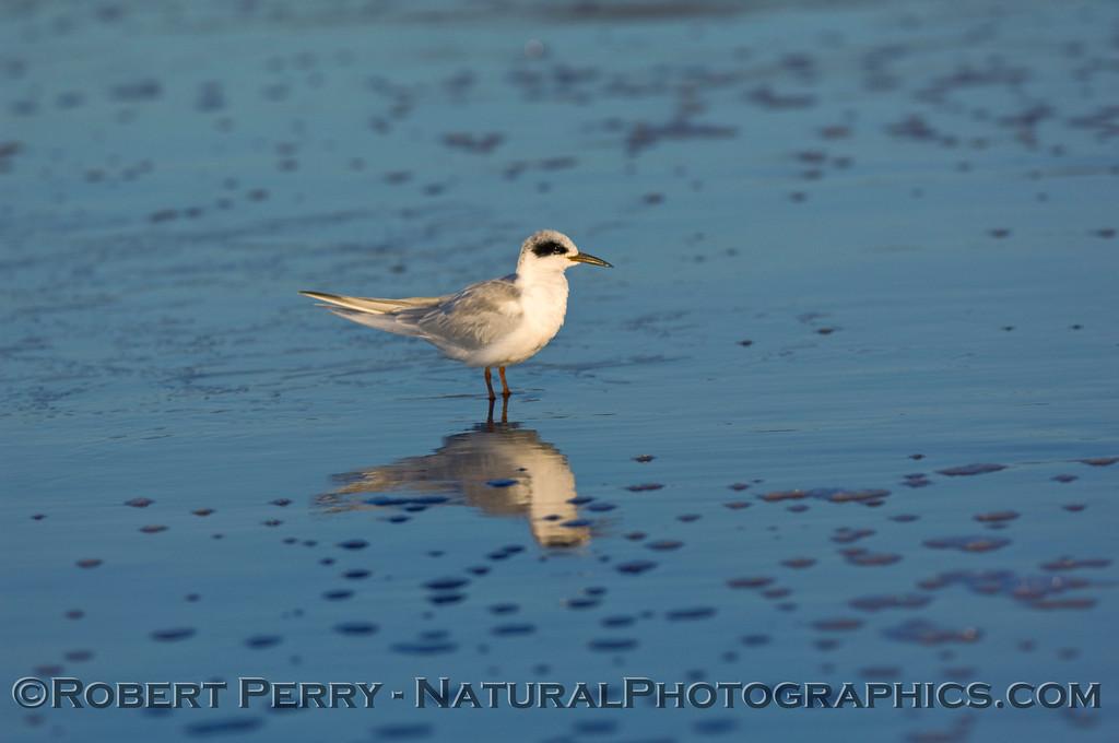 Sterna forsteri, Forster's Tern.