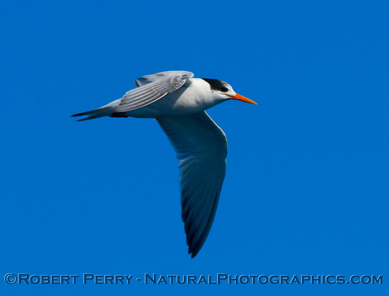 Royal tern (Sterna maxima) comes by for a close look at the boat.