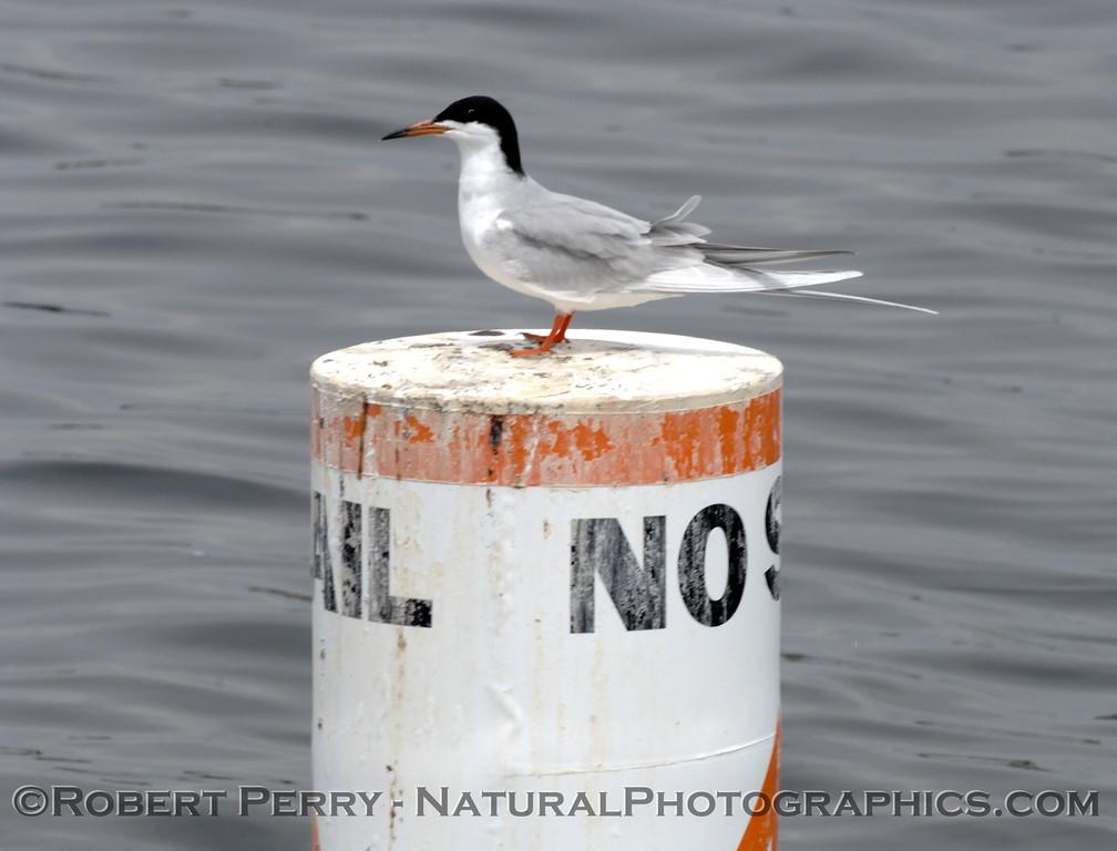 Sterna forsteri on buoy 2006 04-25 del Rey -120modCROP