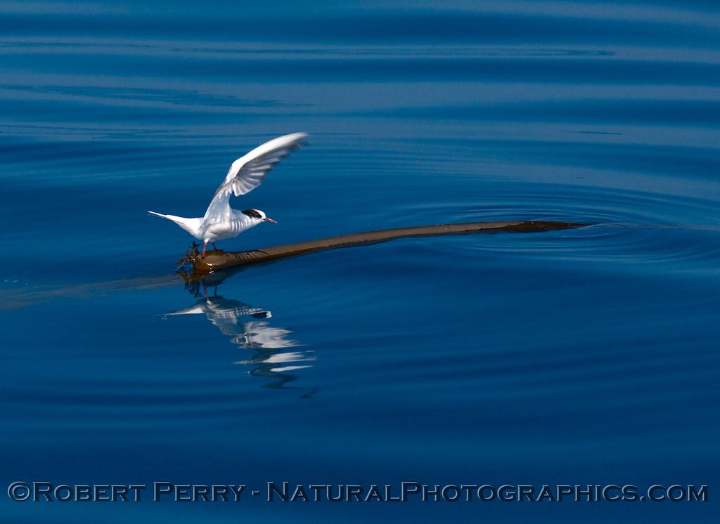 An Arctic tern (<em>Sterna paradisaea</em>) takes off from a floating piece of bull kelp (<em>Nereocystis lutkeana</em>).