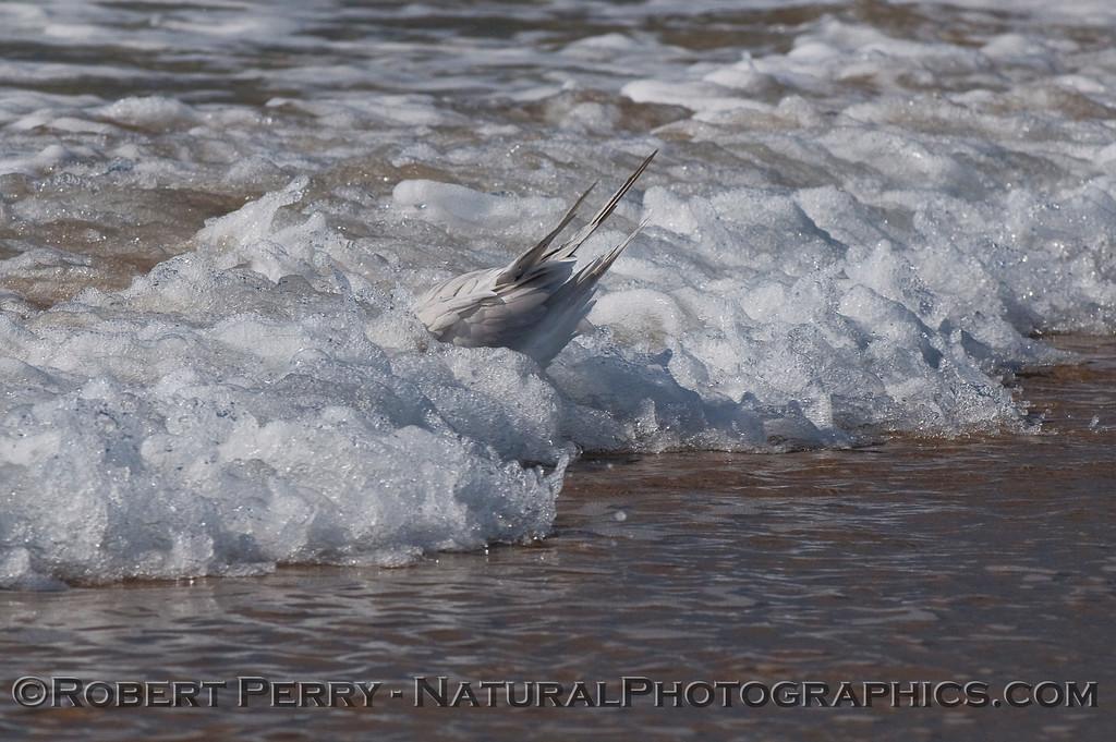 Sterna elegans bathing seq in surf 2009 10-29 Zuma - 025