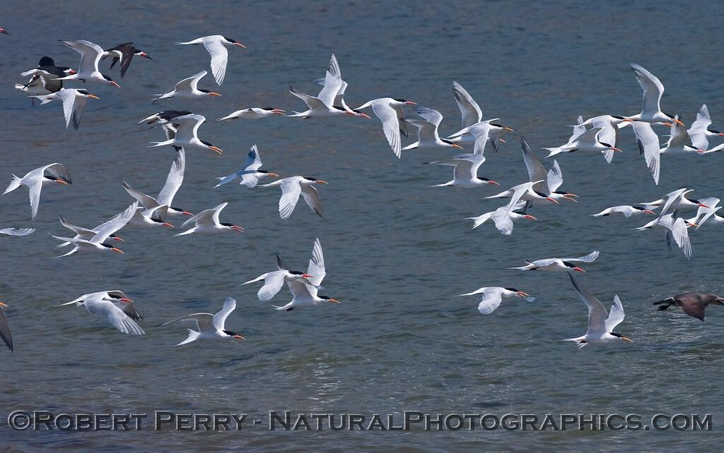 Sterna elegans flock in flight 2010 04-18 SB Harbor - 023