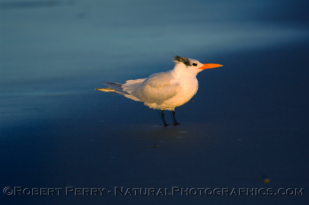 Royal Tern, Sterna maxima, at dawn.