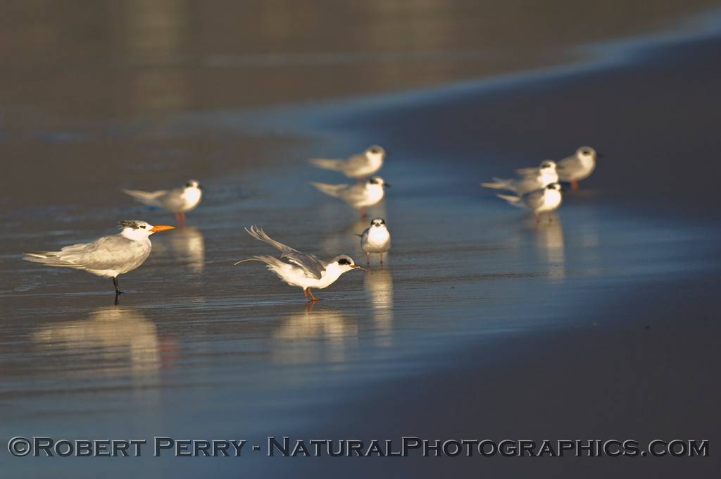 Eight Forster's and one Royal Tern on wet sand.
