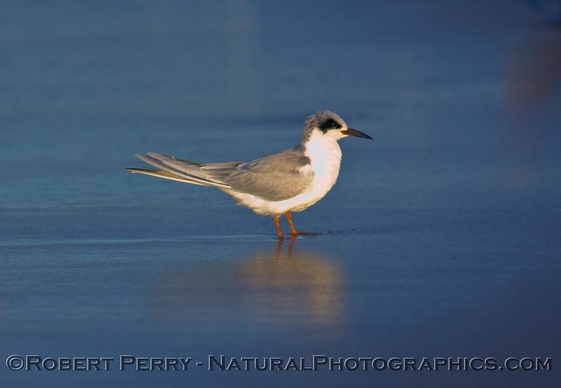 Sterna forsteri, Forster's Tern, on blue sand.