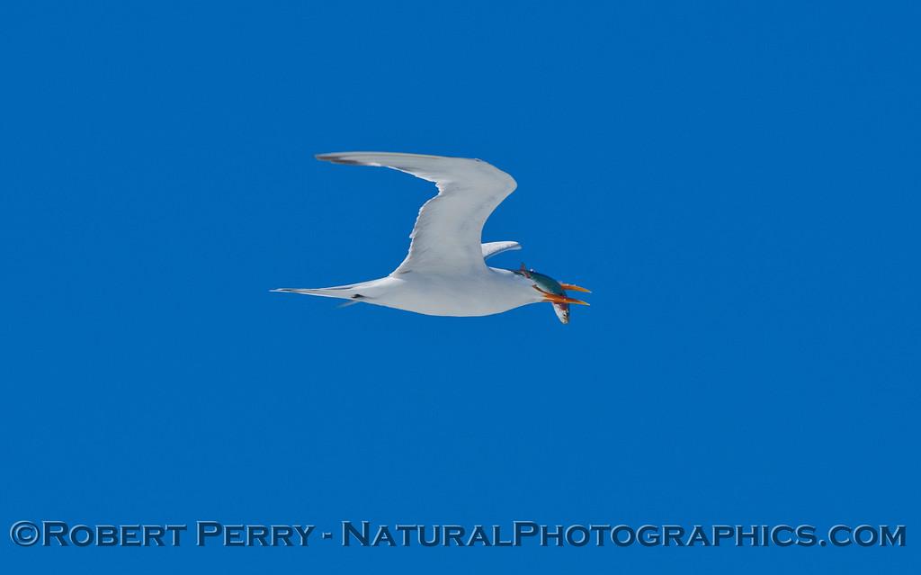 Elegant tern (<em>Sterna elegans</em>) with a fish.