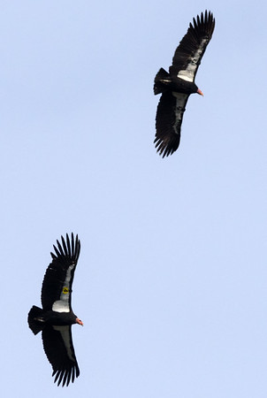 "California Condors (4 Yellow 204) & (34 Black, 534)  ""Amigo & Yawtanin"""
