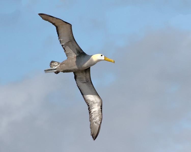Waved Albatross - Galapagos  Islands, Ecuador