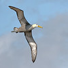 Waved Albatross - Galapagos  Islands, Ecuador