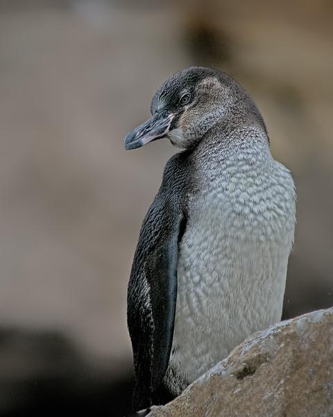 Galapagos Penguin - Galapagos Islands, Ecuador