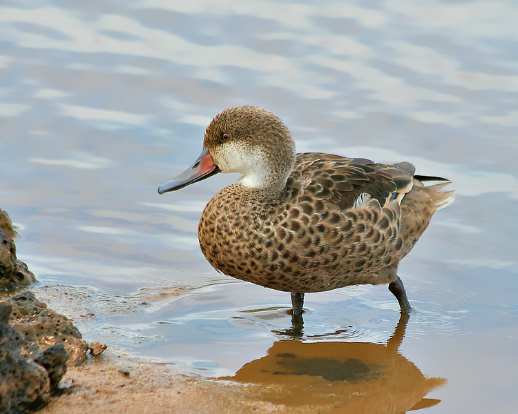 White-cheeked Pintail Duck - Galapagos Islands, Ecuador