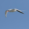 Red-billed Tropicbird - Galapagos  Islands, Ecuador