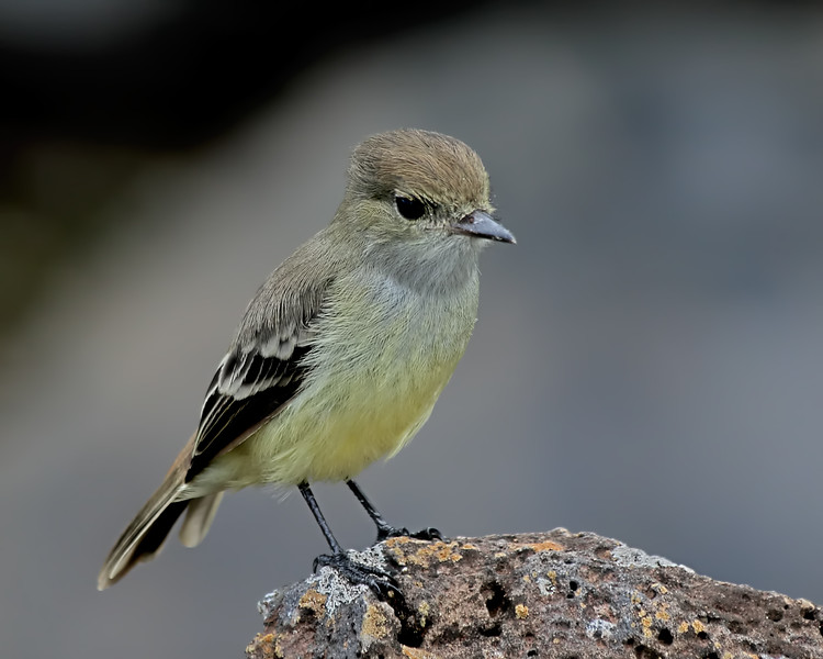 Galapagos Flycatcher - Galapagos Islands, Ecuador