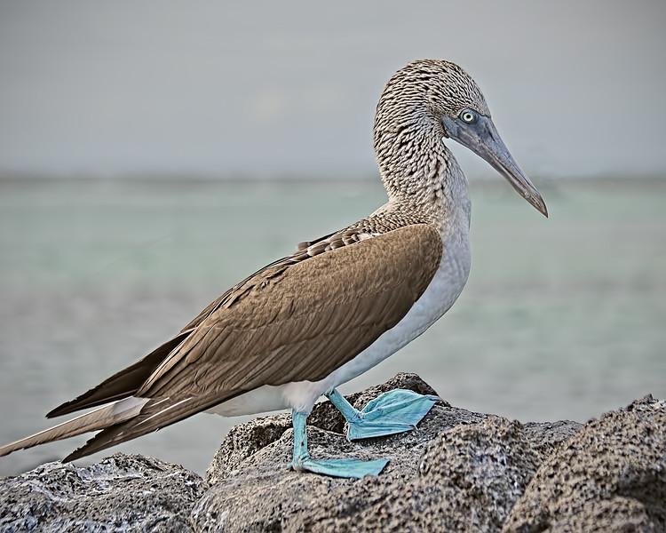 Blue-footed Booby - Galapagos  Islands, Ecuador