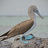Blue-footed Booby - Galapagos  Islands, Ecuador