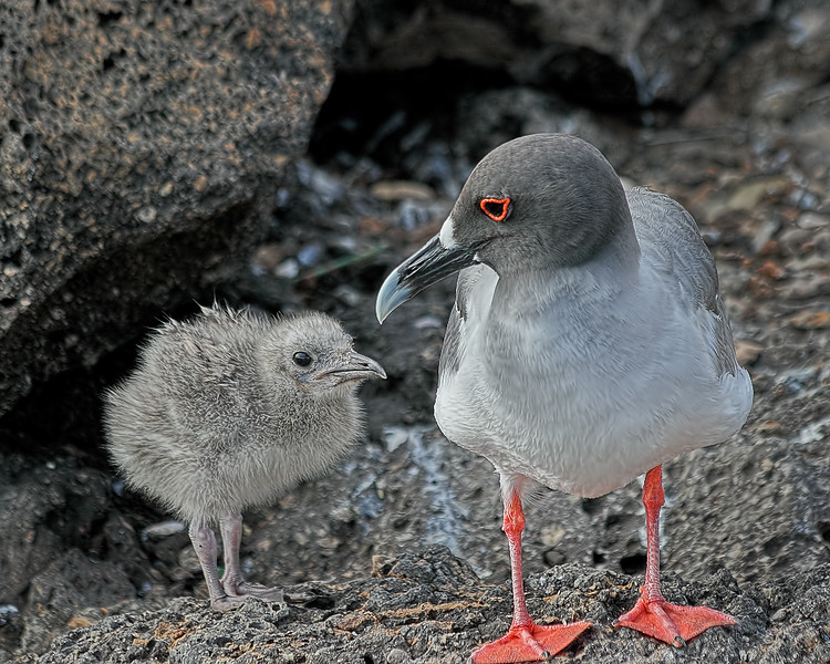 Swallow-tailed Gull and Chick - Galapagos Islands, Ecuador