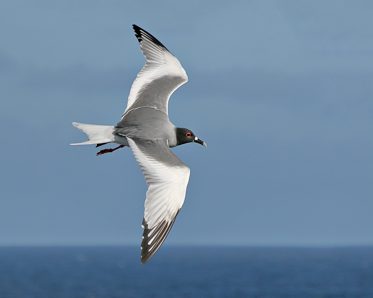 Swallow-tailed Gull - Galapagos  Islands, Ecuador