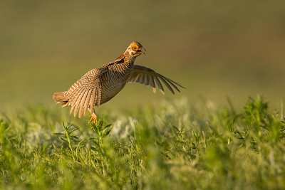 Lesser Prairie Chicken