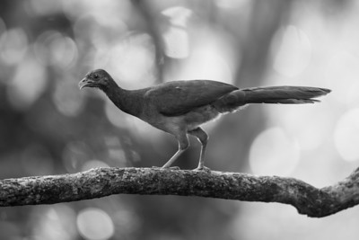 Chachalaca, Gray-headed