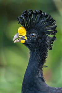 Greater Curassow