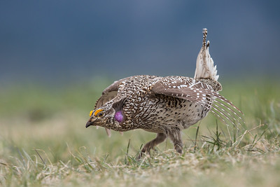 Grouse, Sharp-tail (Phasianidae)