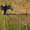 Long Tailed Cormorant