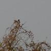 Woodchat Shrike (thanks to Dorian for confirmation)