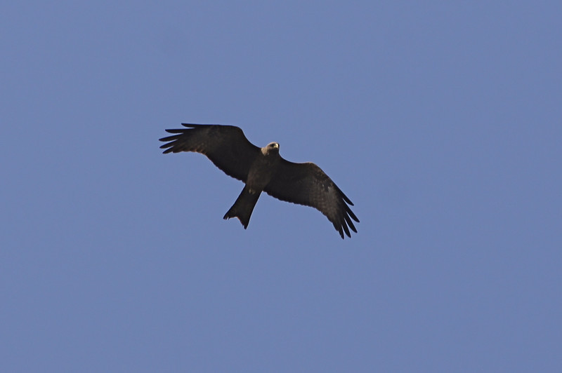 Yellow-billed Black Kite
