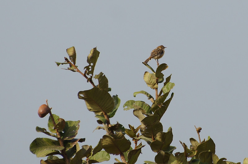 Zitting Cisticola (thanks to Dorian for confirmation)